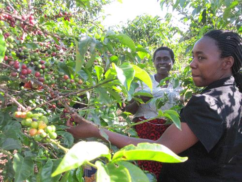 Ruandische Kaffeeproduzenten 1