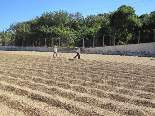 Salvadorianische Kaffeeproduzenten 1